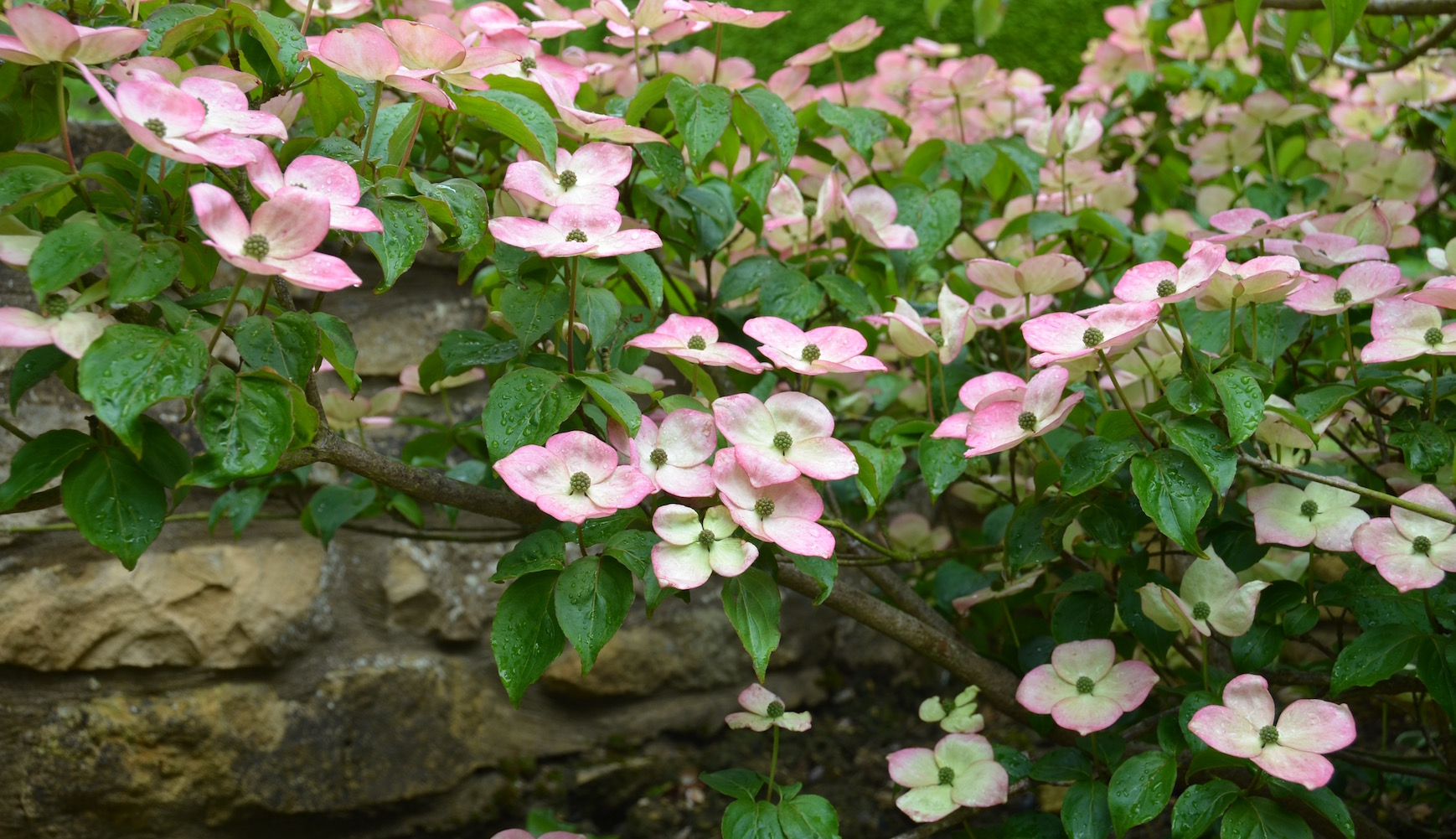 Dogwood at The Laksett Garden