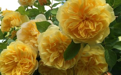 Peter Beale's Roses