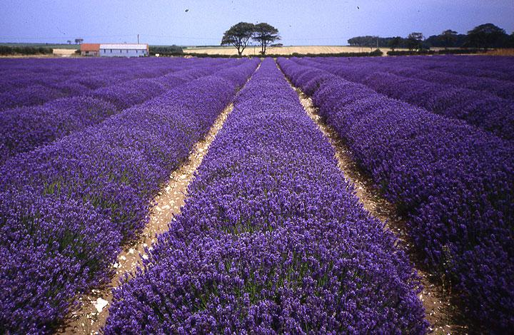 Norfolk Lavender Farm