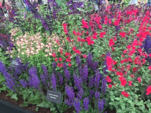 Salvias at RHS Show