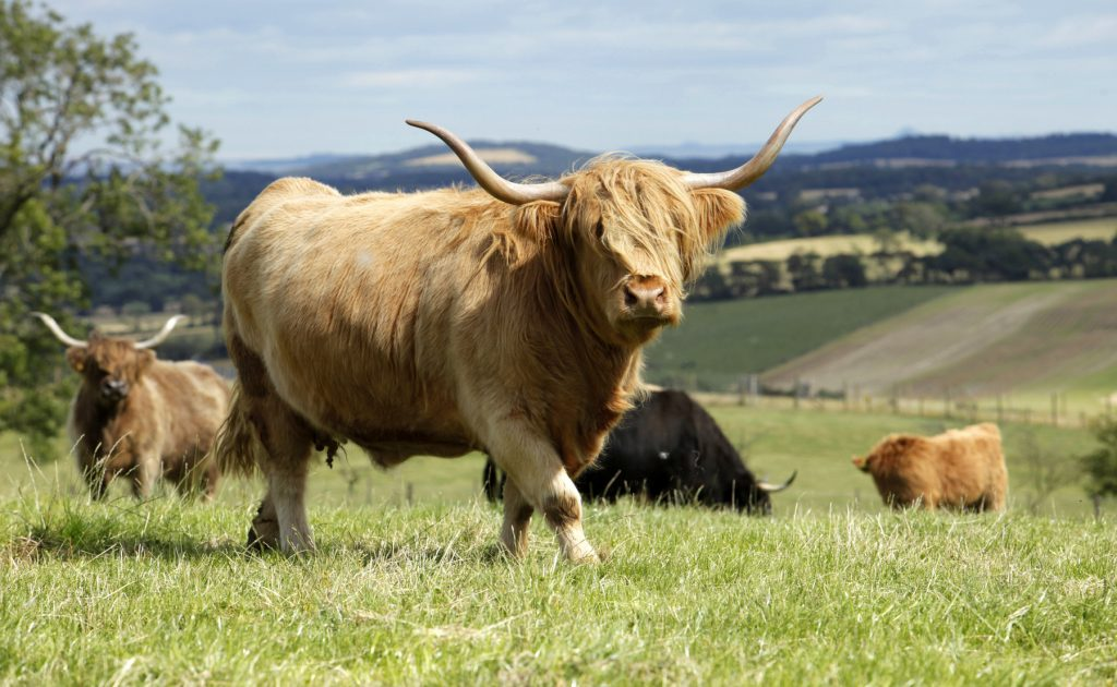 Highland cattle credit : Paul Tomkins / VisitScotland